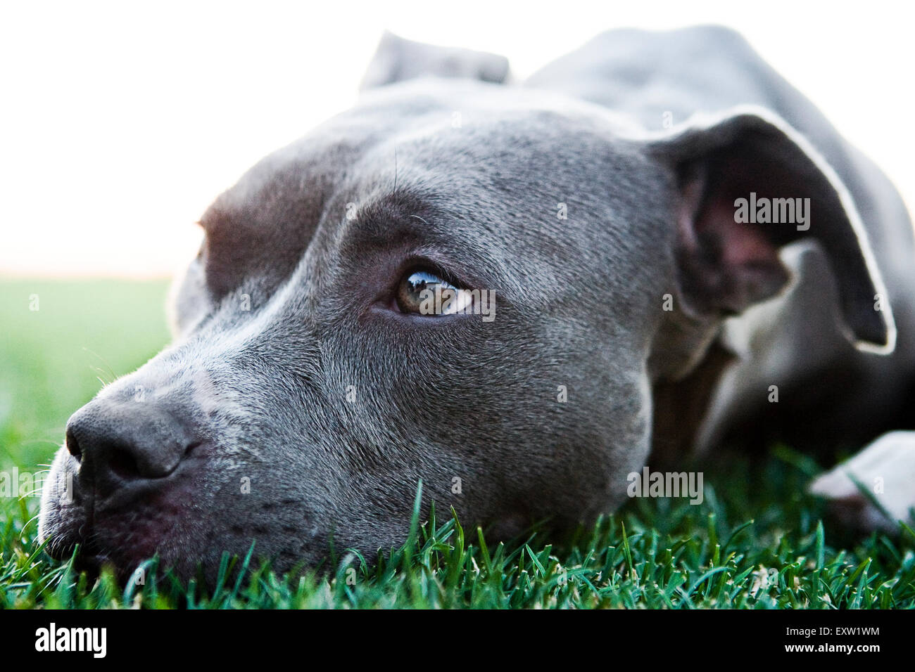 Close up portrait gorgeous Blue Pitbull laying down head in grass - Stock Image