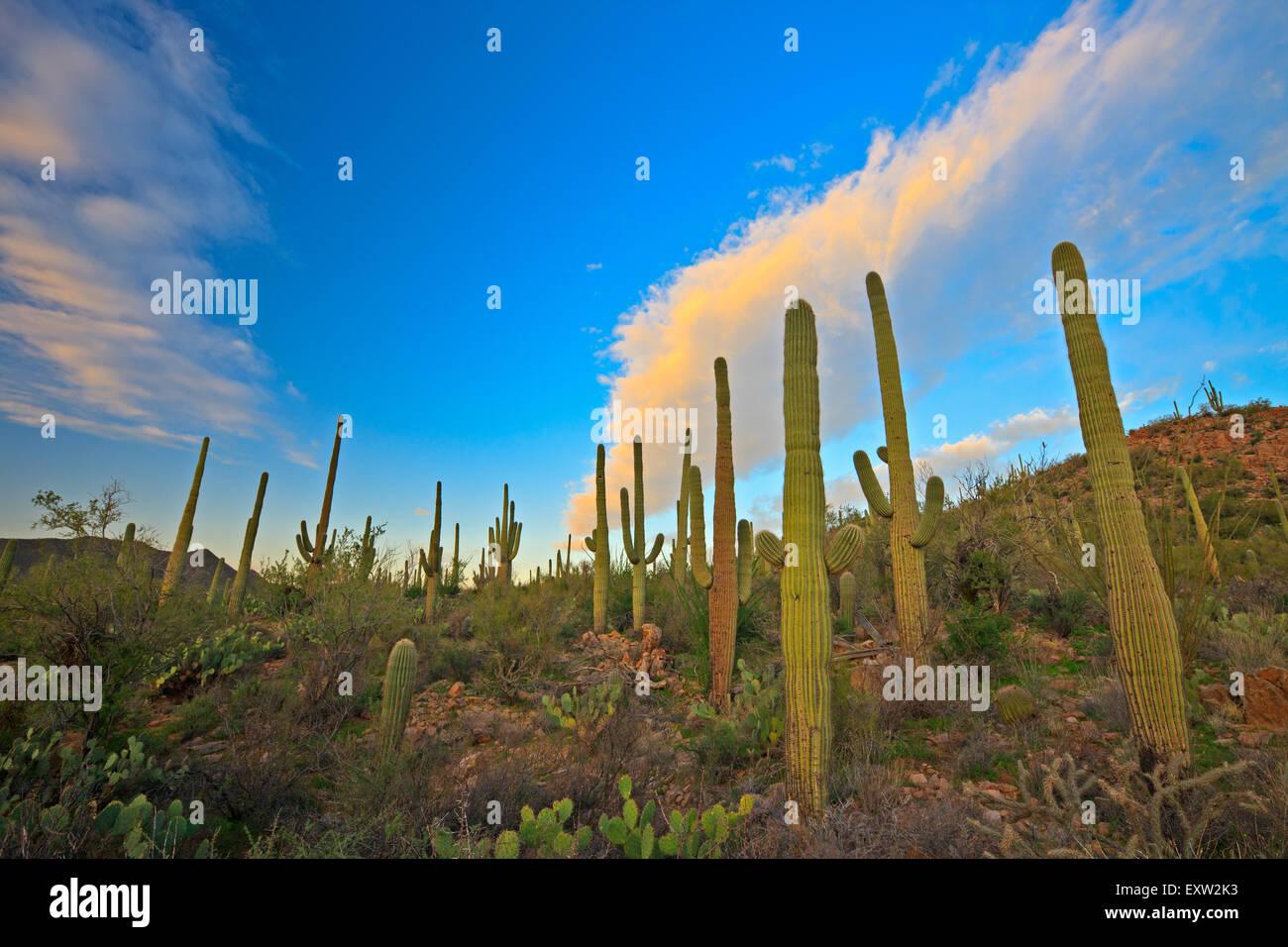 Saguaro cactus, Carnegiea gigantea, Saguaro National Park West, Saguaro National Park, Arizona, USA - Stock Image
