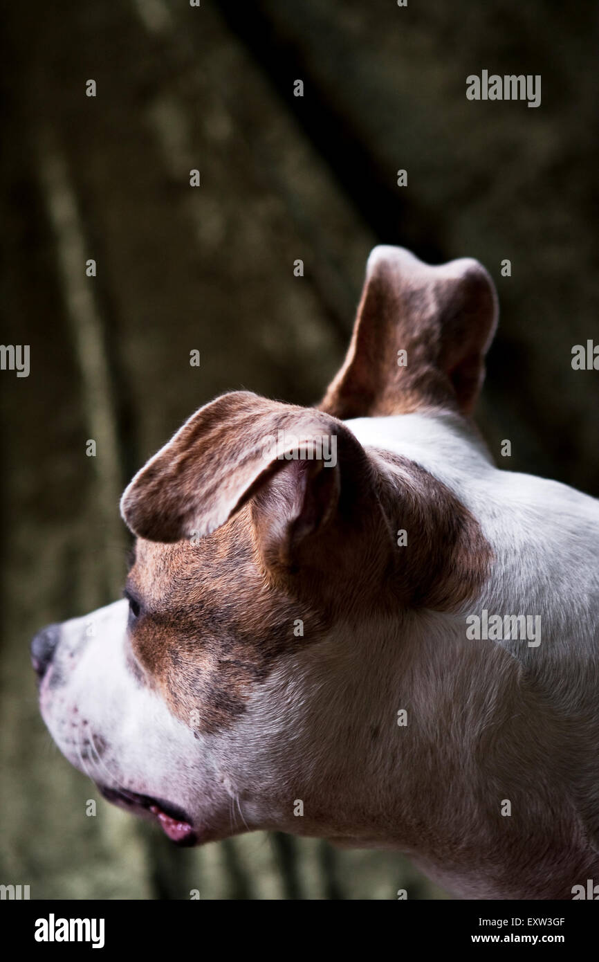 Over shoulder, brown and white dog POV, one floppy ear - Stock Image