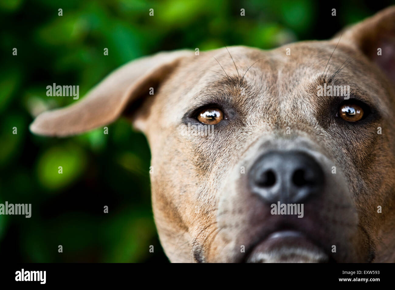 Captivating close up portrait brown Pitbull head, one floppy ear - Stock Image