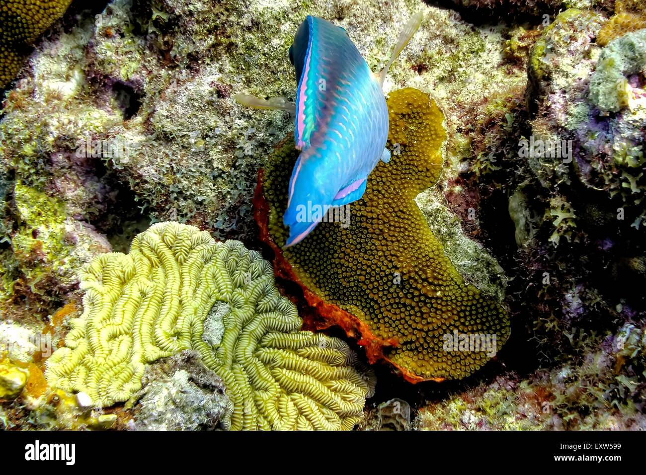 Stoplight Parrotfish Cleaning Corals at Buddy's Reef, Bonaire - Stock Image