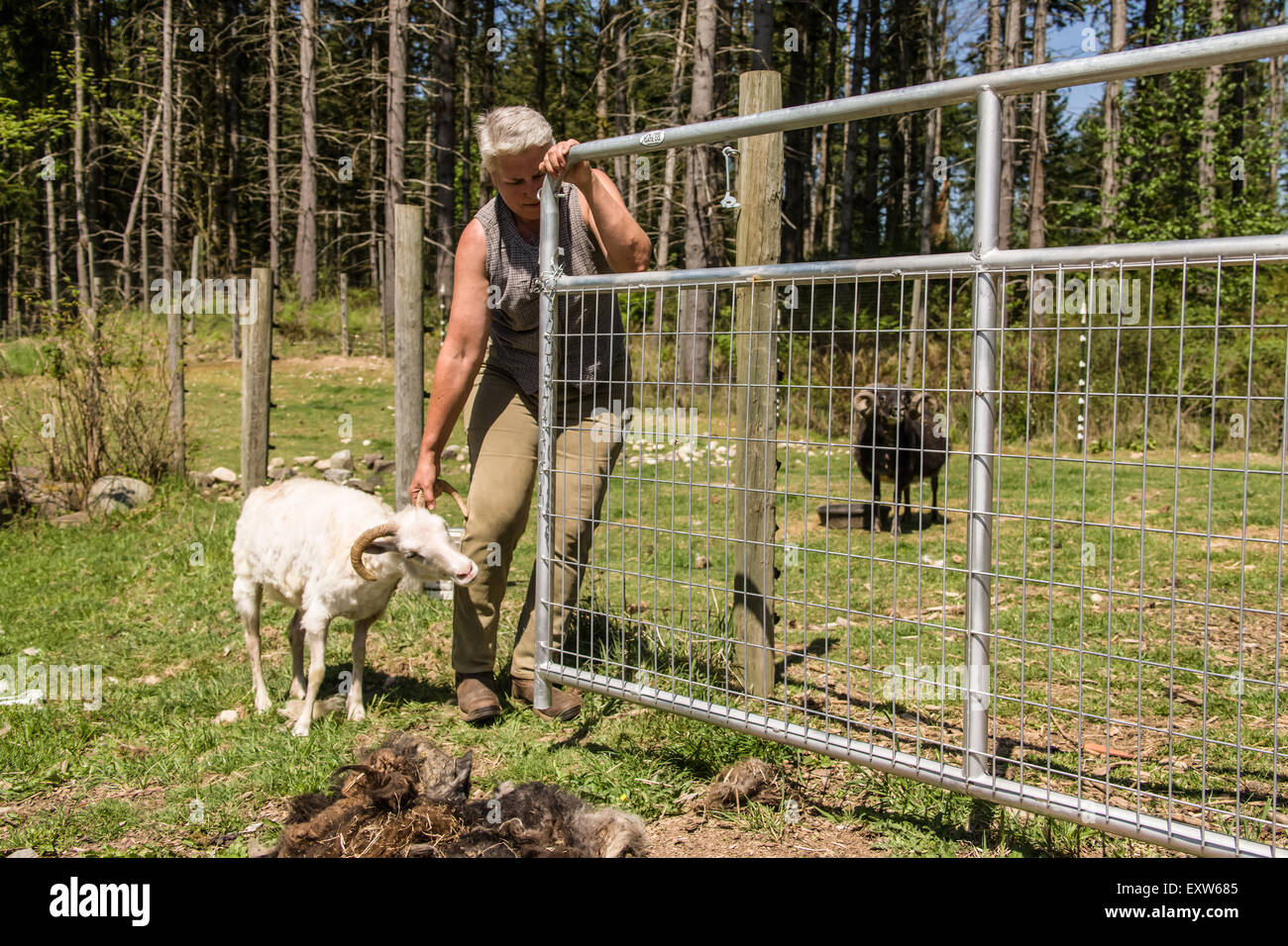 Woman trying to get an Icelandic heritage breed of sheep back into its pen after shearing it, in Carnation, Washington, - Stock Image