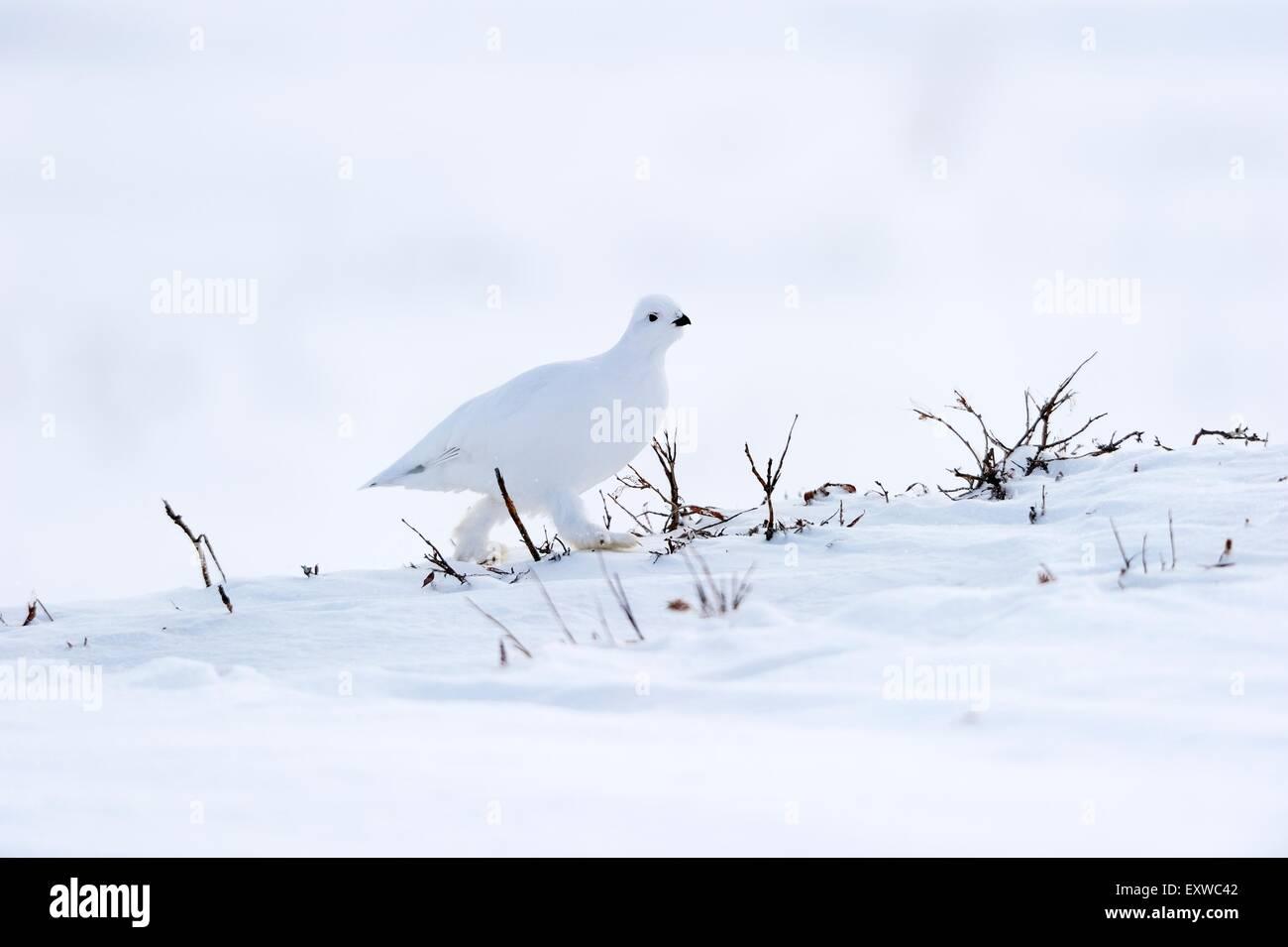 Willow Ptarmigan (Lagopus lagopus) in white plumage in the frozen, snowy, Arctic tundra, Alaska, USA Stock Photo