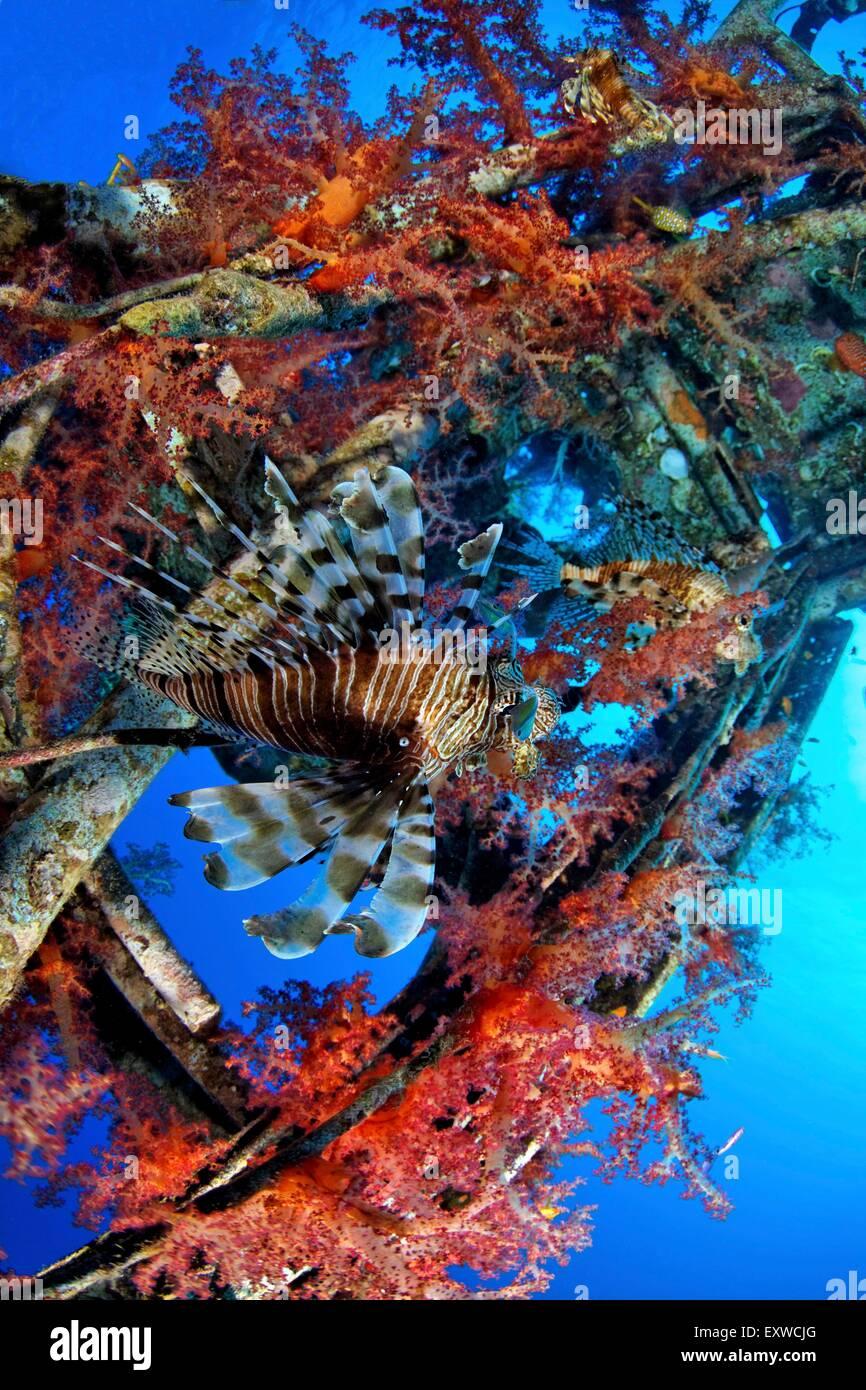 Rotfeuerfisch, Pterois volitans,Stachelflosser, Acanthopterygii,Weichkoralle,Einzelnes Tier,schwimmen,Schiffsmast, - Stock Image