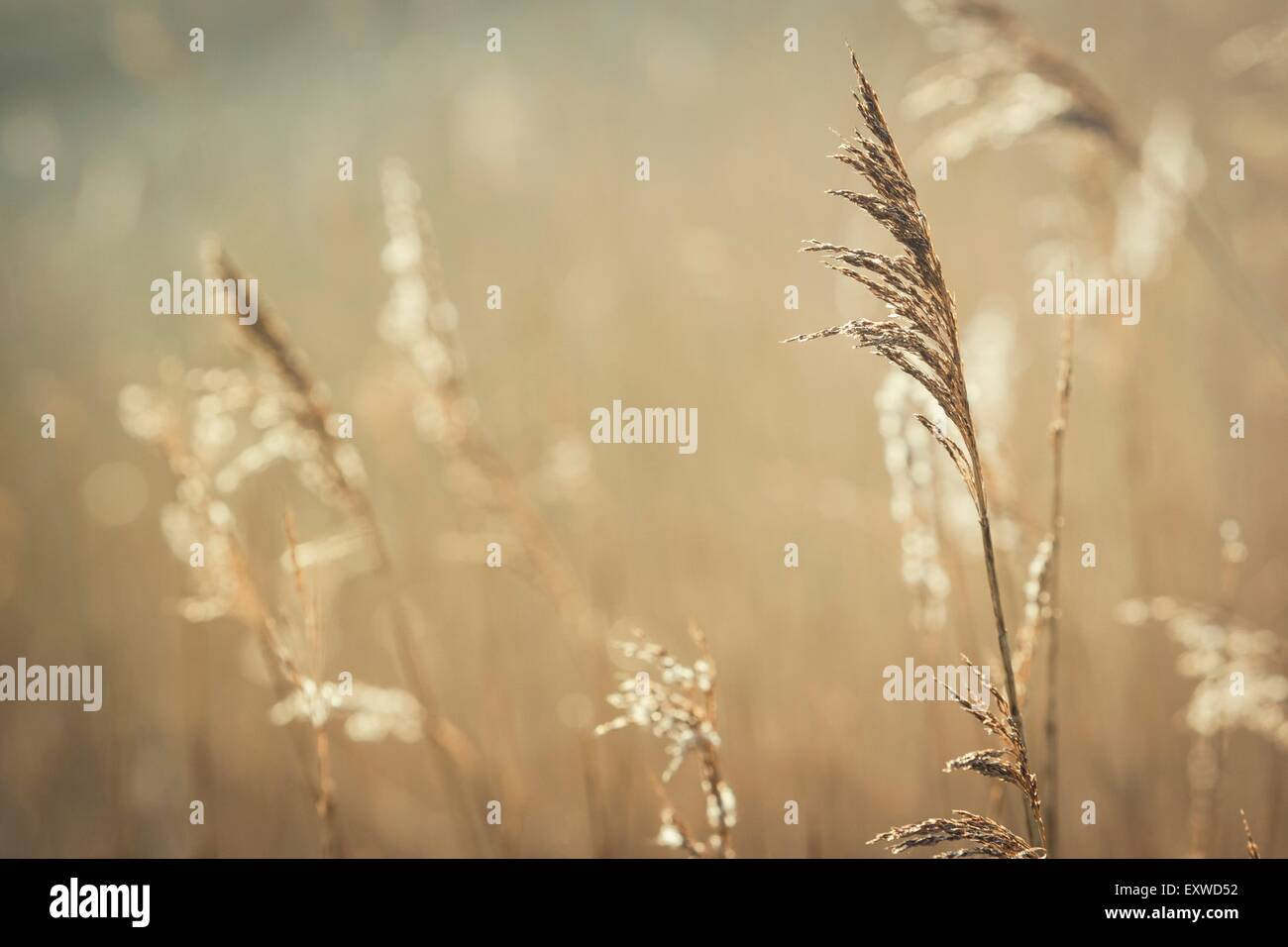 Withered reed blades in morning sun - Stock Image