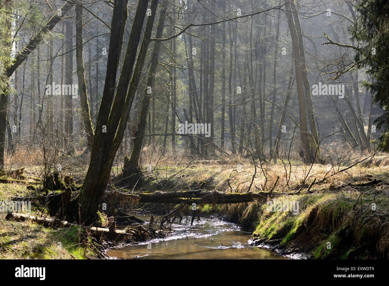 Forest steam, Upper Palatinate, Bavaria, Germany, Europe Stock Photo