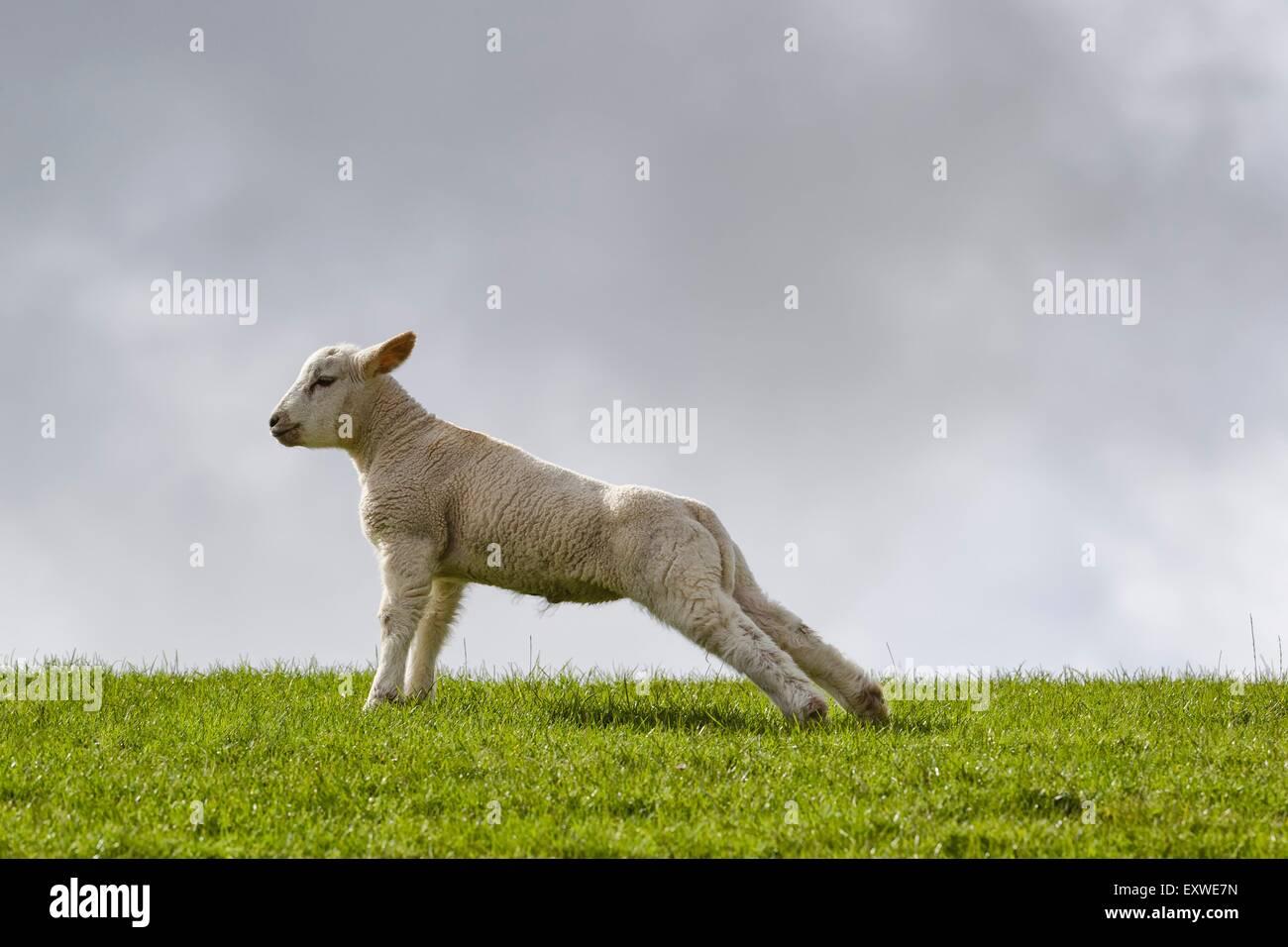 Lamb stretching on dyke Stock Photo