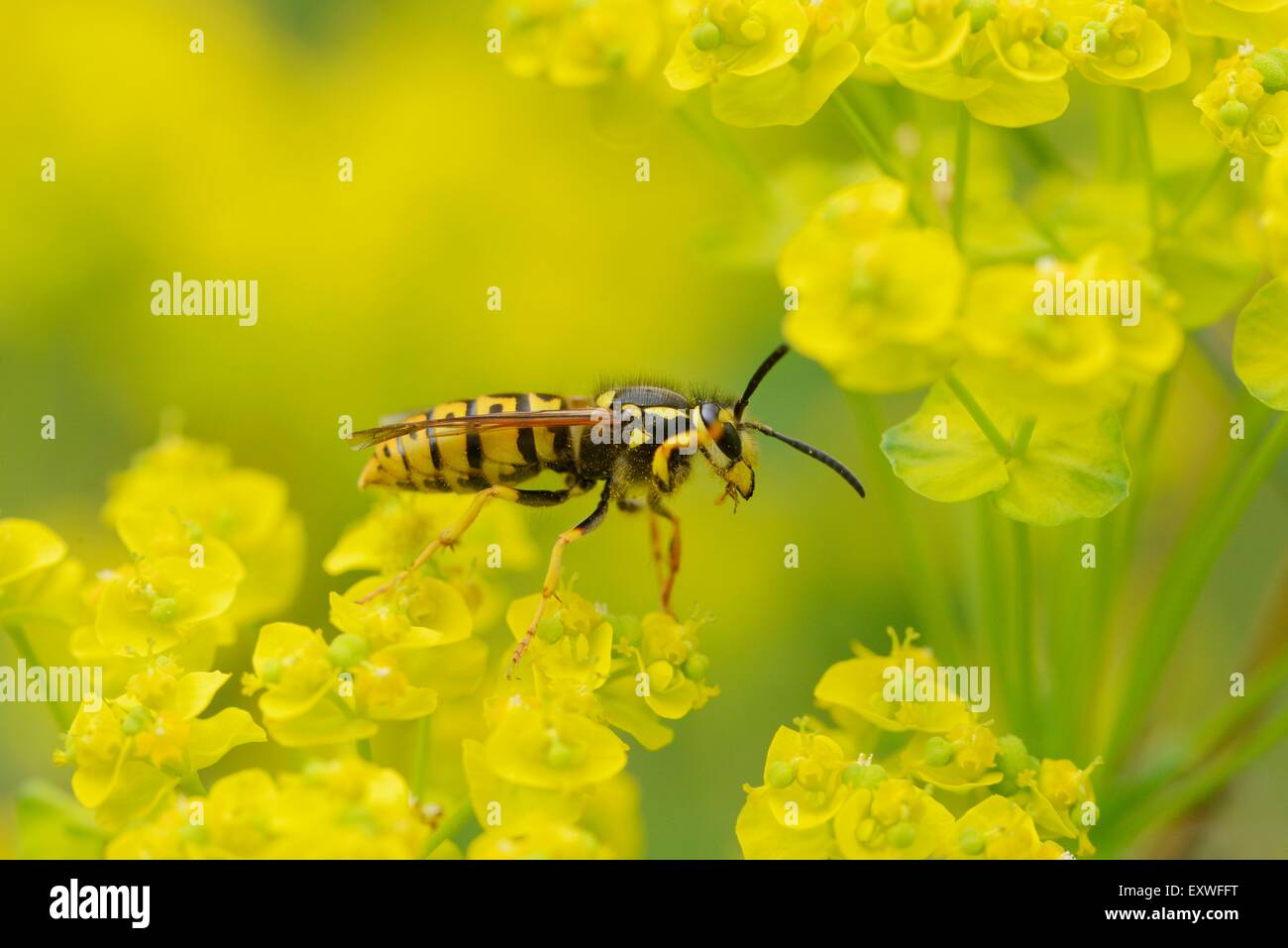 Close-up of a common wasp on a cypress spurge Stock Photo