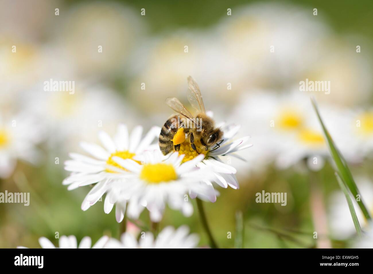 Close-up of a western honey bee on a common daisy - Stock Image