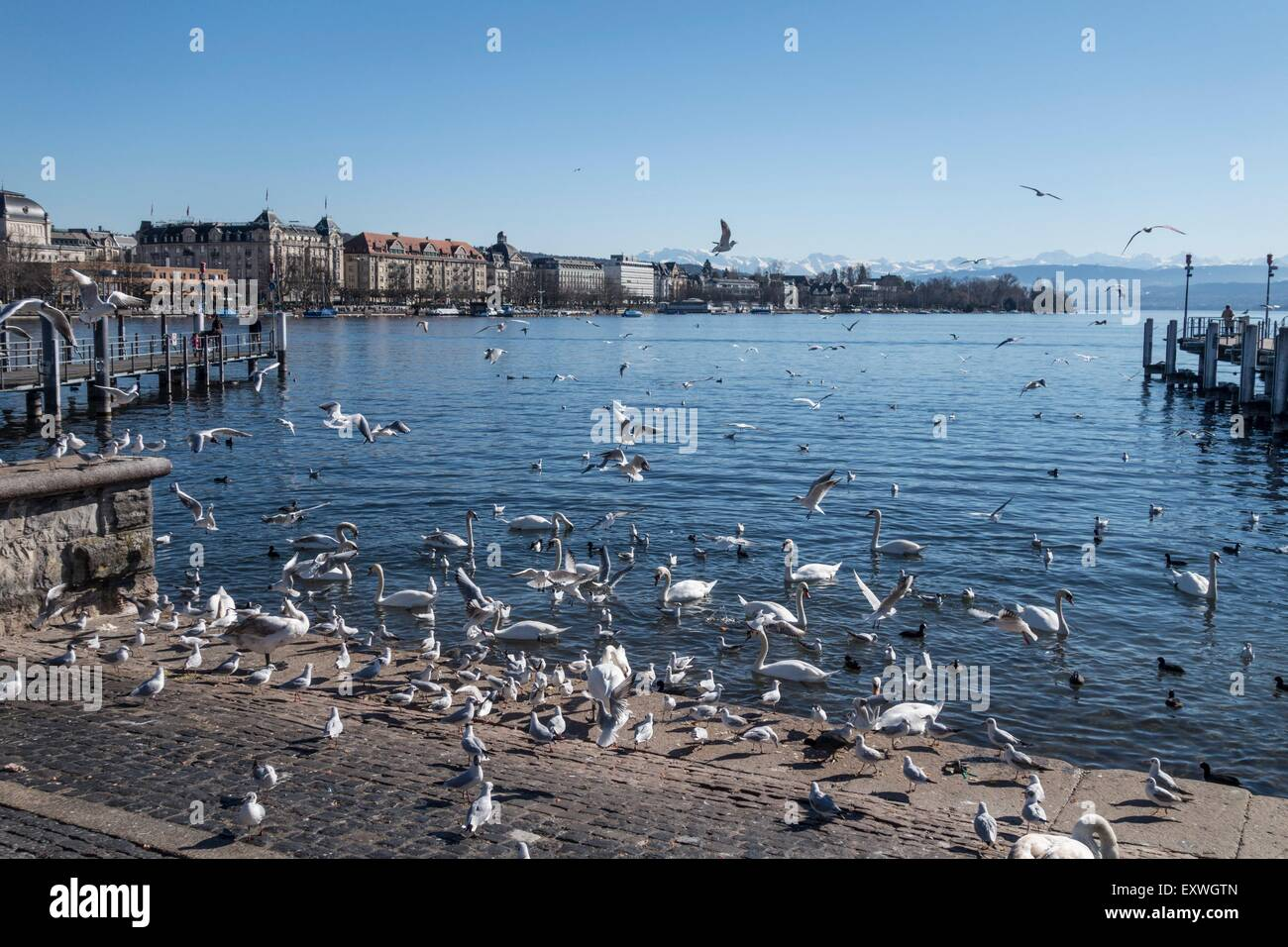 Swans and birds, Lake Zurich, Zurich, Switzerland, Europa - Stock Image
