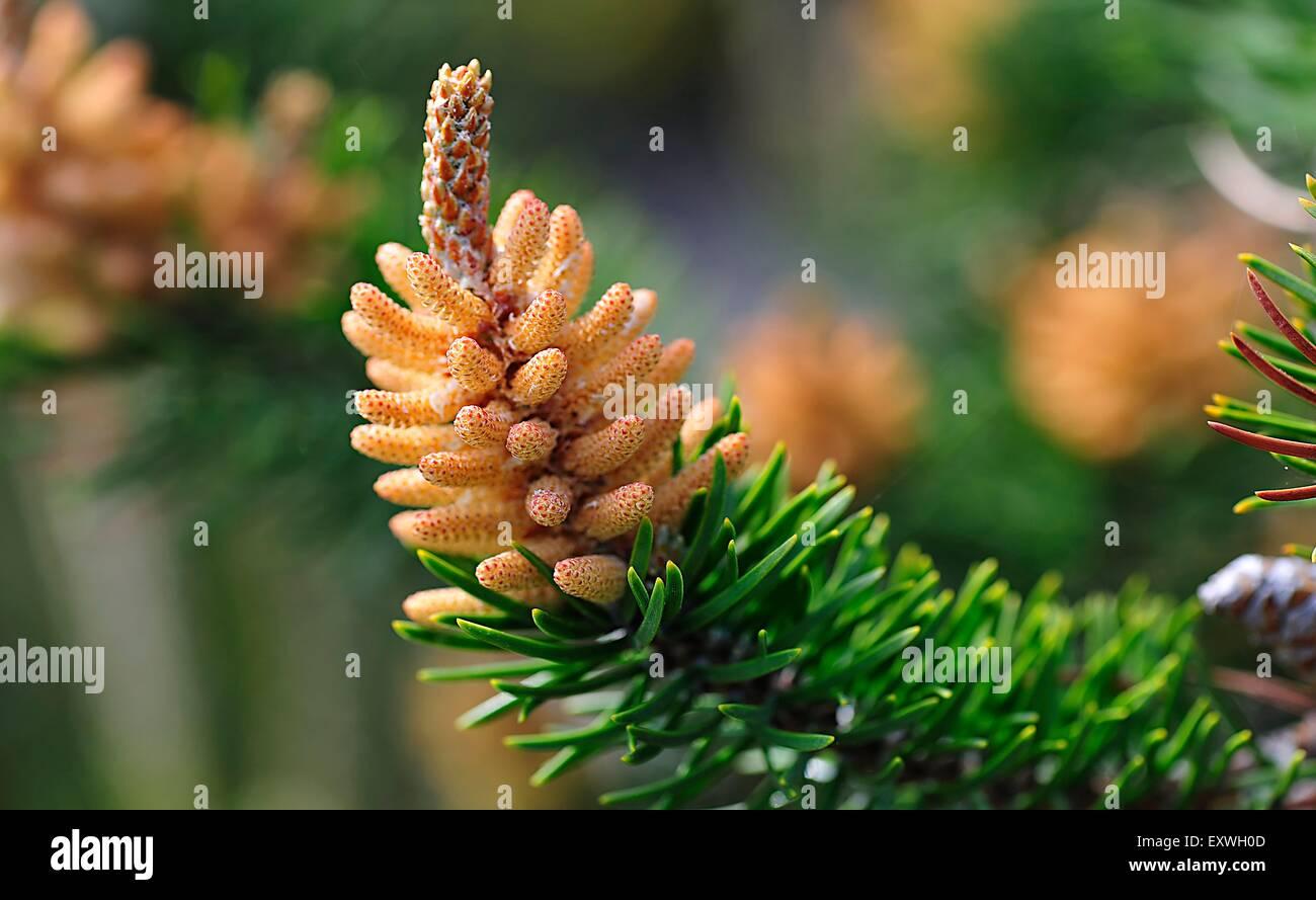 Kiefernzapfen, Zwerg-Kiefer,Zweig,Ast,Fokus,Tiefenschärfe,Fokus auf den Vordergrund, Fokus auf dem Vordergrund,Close - Stock Image