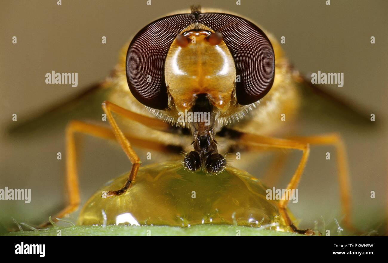 Hoverfly - Stock Image