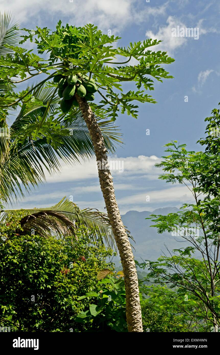 Papaya and volcano Merapi, Java, Indonesia, Asia - Stock Image