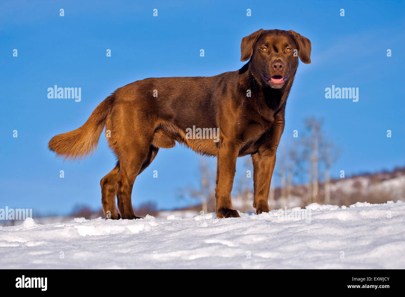 Playful Labrador Retriever standing in snow in meadow - Stock Image