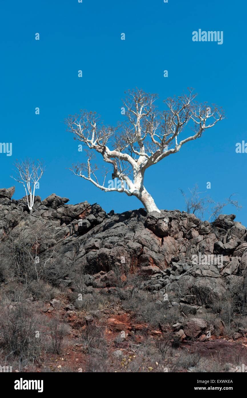 Leafless tree on a rocky ridge, Kunene Region, Namibia - Stock Image