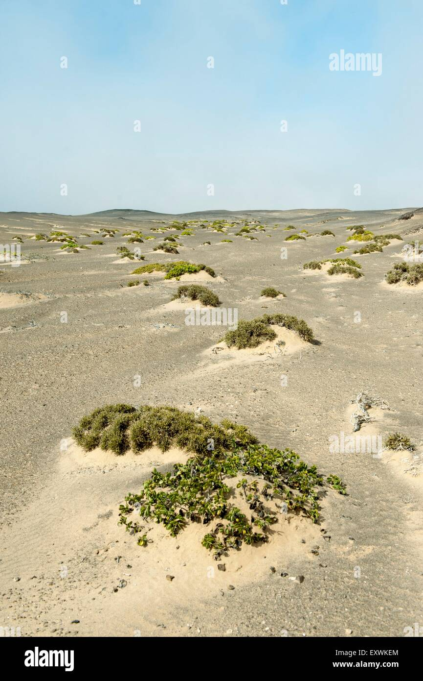Sand dunes with sparse vegetation, Skeleton Coast National Park, Namibia - Stock Image