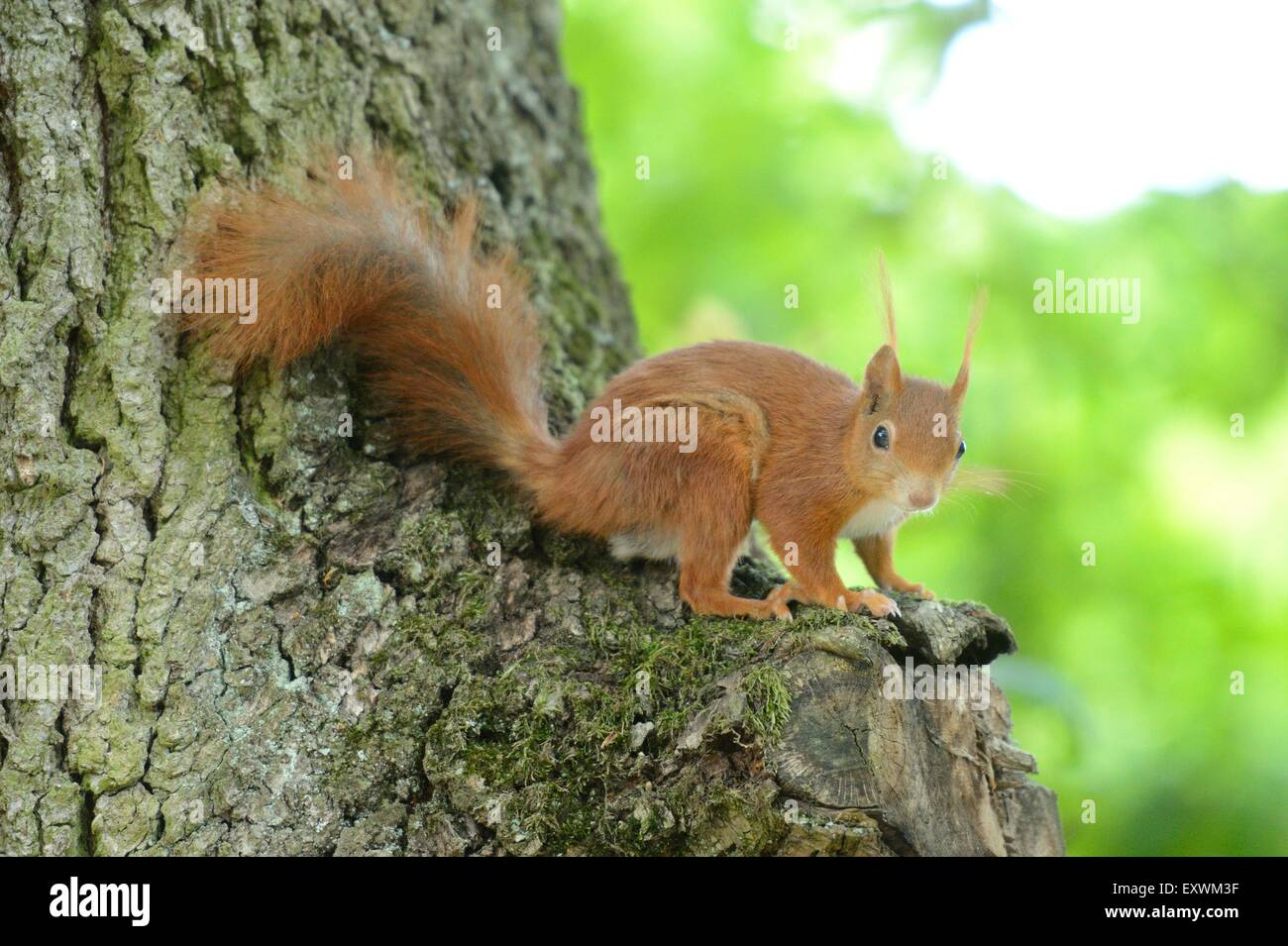 Red squirrel on a tree trunk - Stock Image
