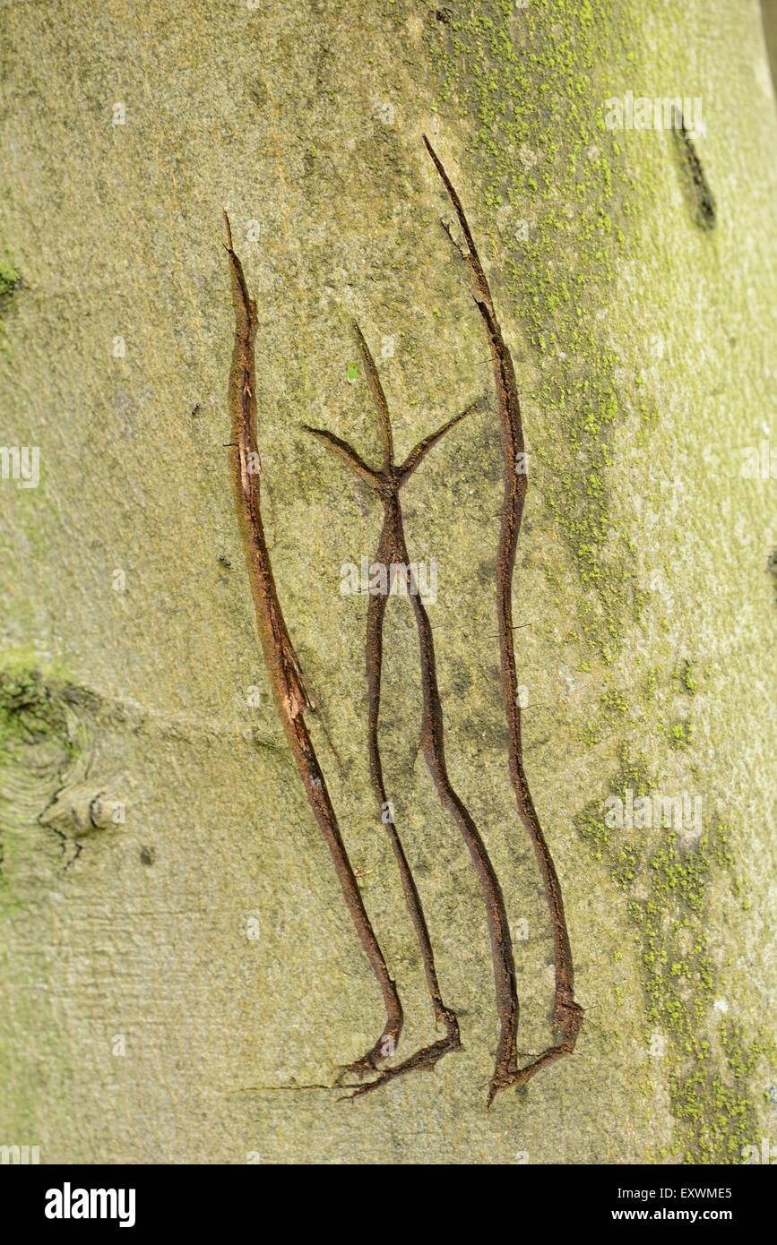 Sketch of a lower body from a woman on a common beech tree - Stock Image