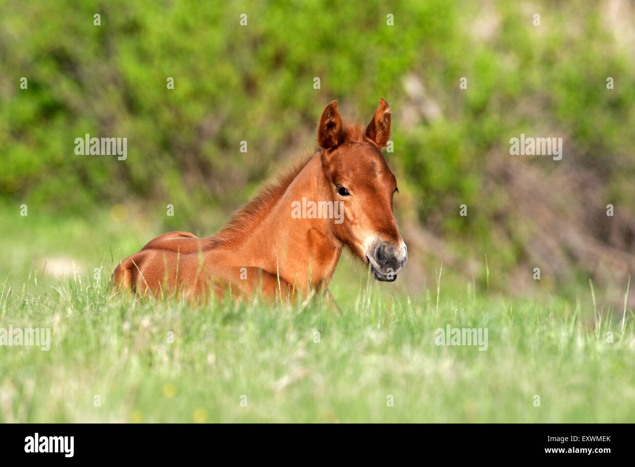 Quarterhorse Fohlen resting in spring meadow - Stock Image