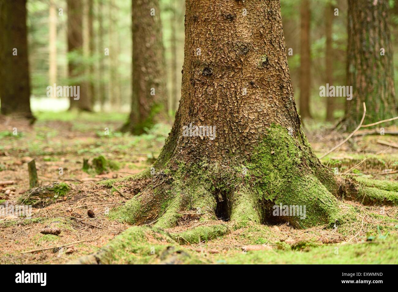 Norway spruce tree trunk in a forest, close-up - Stock Image