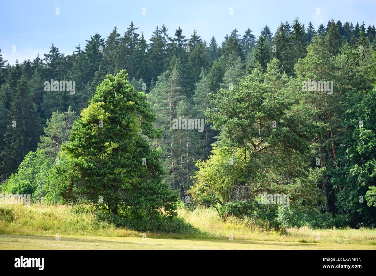 Scots pine tree on a meadow beside forest, Bavaria, Germany - Stock Image