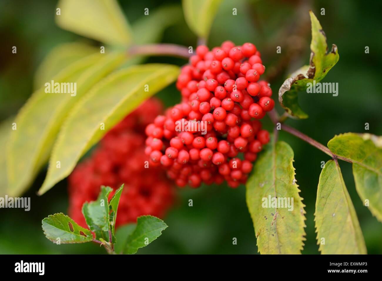 Red Elderberries on twig - Stock Image