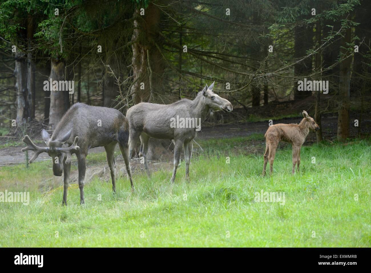 Elk family in Bavarian Forest, Germany - Stock Image