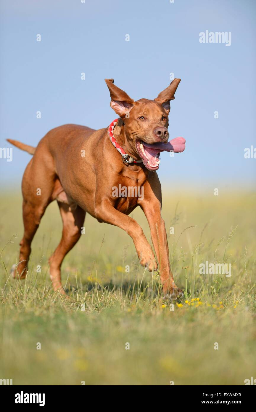 Magyar Vizsla running on a meadow - Stock Image