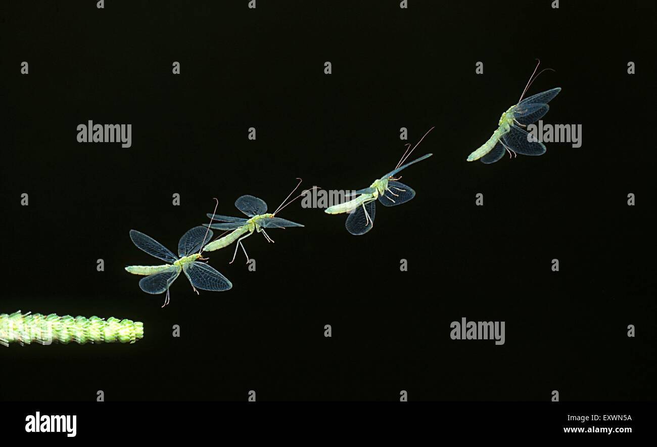 Green lacewing flying, image sequence - Stock Image
