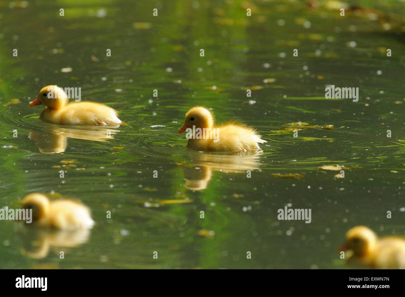 Long Island duck chicks in water - Stock Image