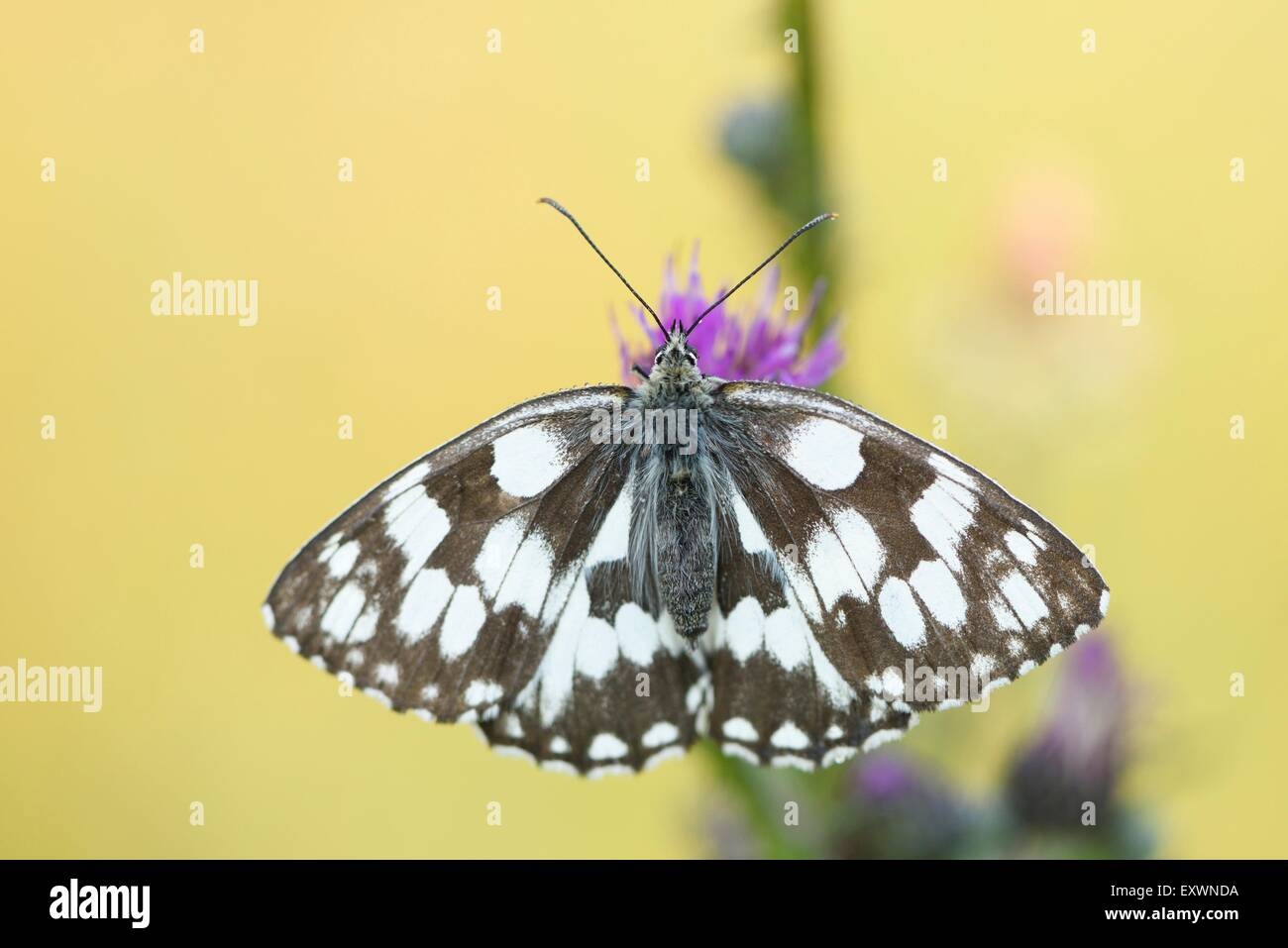 Marbled White on a grass stalk - Stock Image
