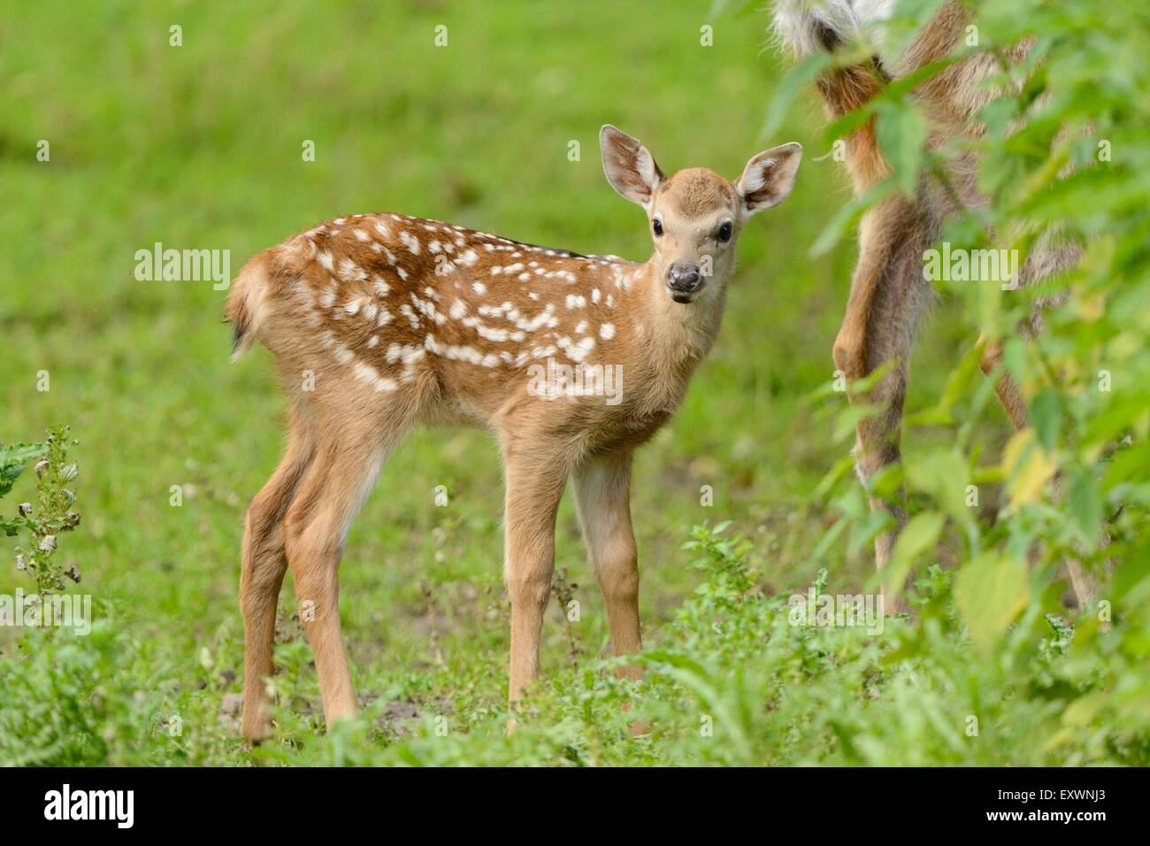 Sika deer fawn on a meadow Stock Photo: 85388299 - Alamy