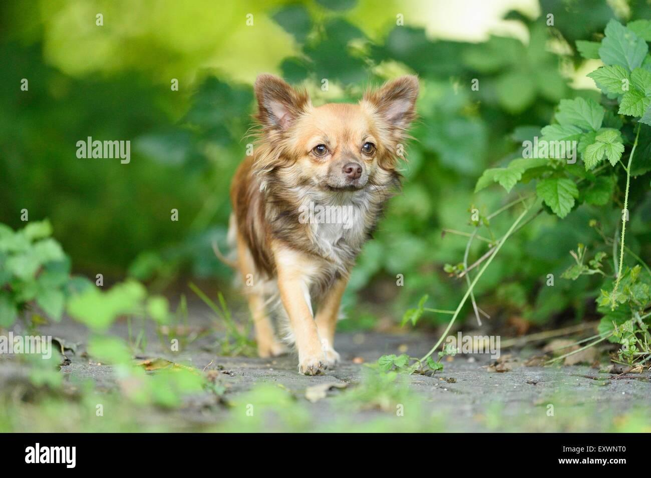 Chihuahua in garden, Upper Palatinate, Bavaria, Germany, Europe - Stock Image