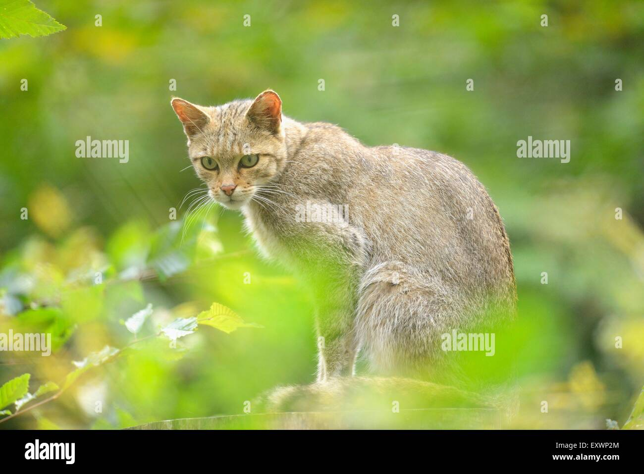 European wildcat - Stock Image