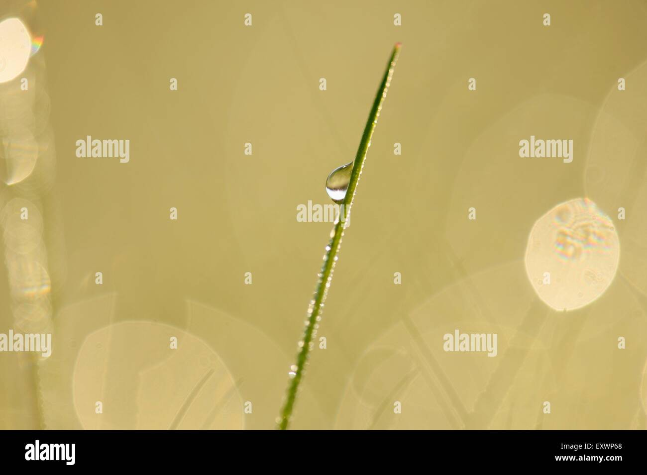 Detail of a grass blade with waterdrop - Stock Image