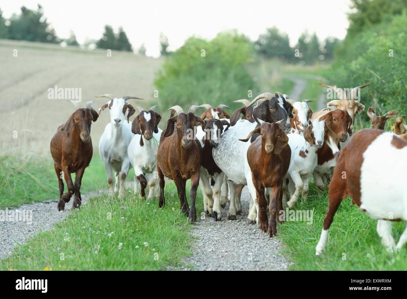 Group of boer goats, Upper Palatinate, Bavaria, Germany, Europe - Stock Image