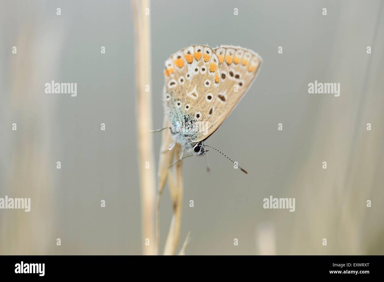 Common Blue, Polyommatus icarus, Upper Palatinate, Bavaria, Germany, Europe Stock Photo