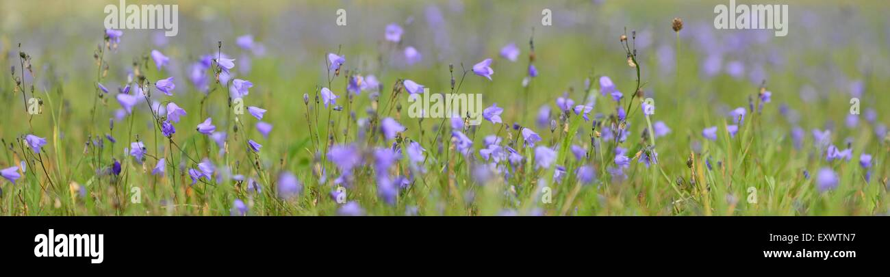 Fairies' thimbles on a meadow - Stock Image