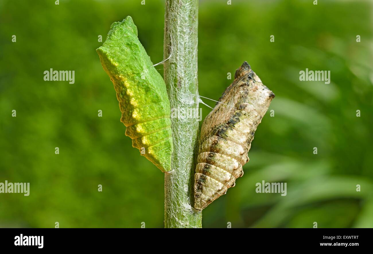 Two pupas of Old World Swallowtail - Stock Image