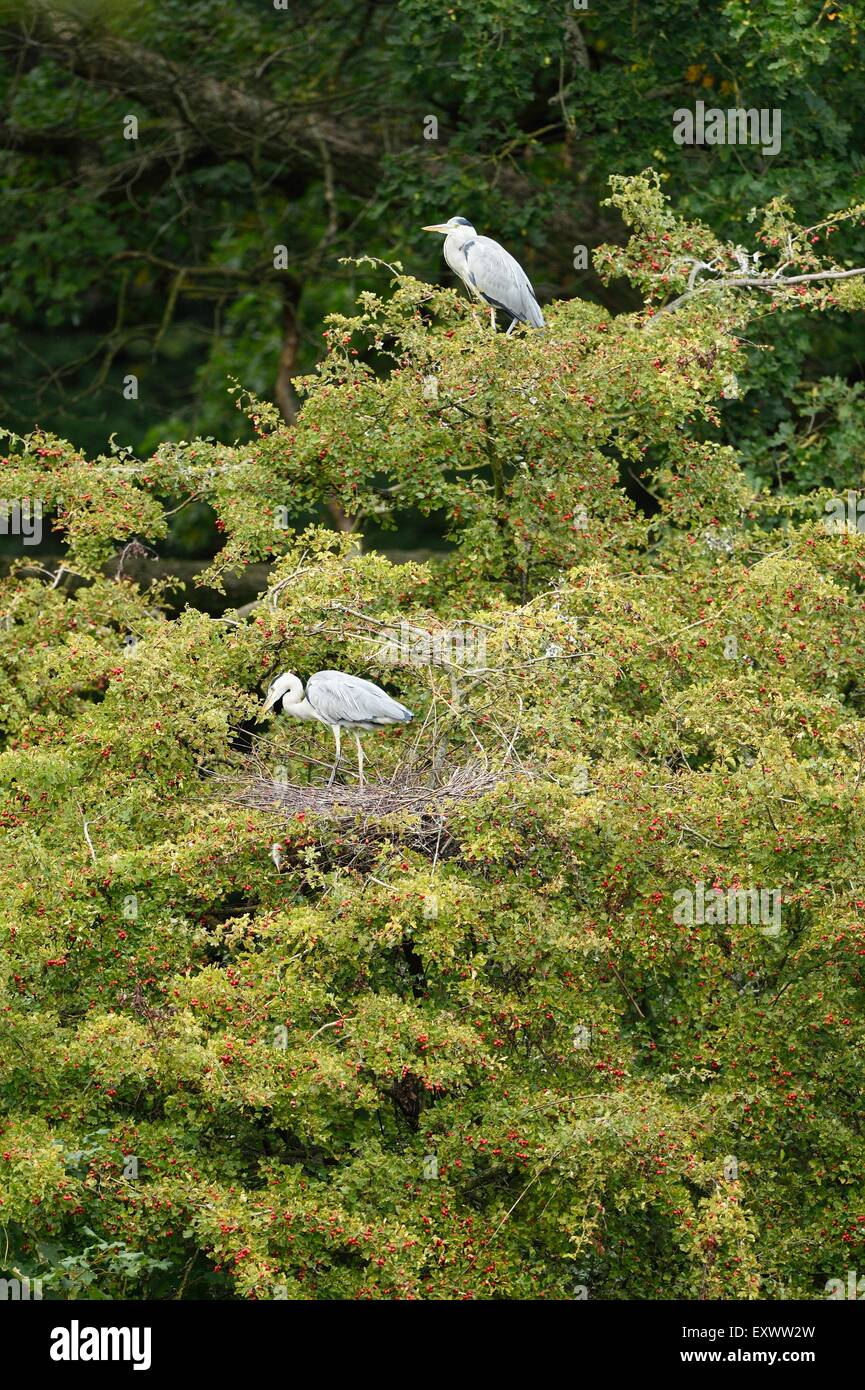 Grey herons at their nests in treetop - Stock Image