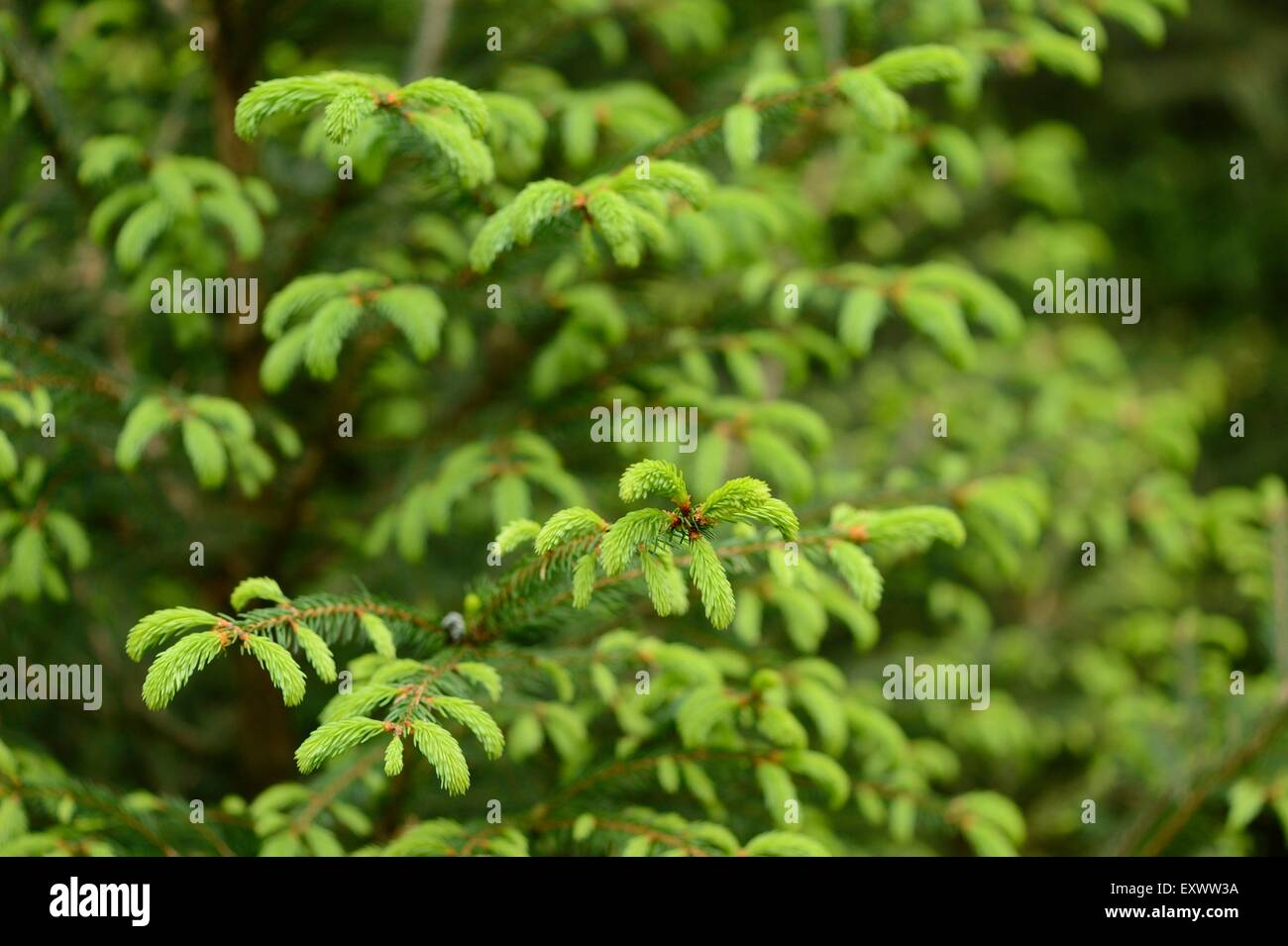 Norway spruce shoots in spring - Stock Image