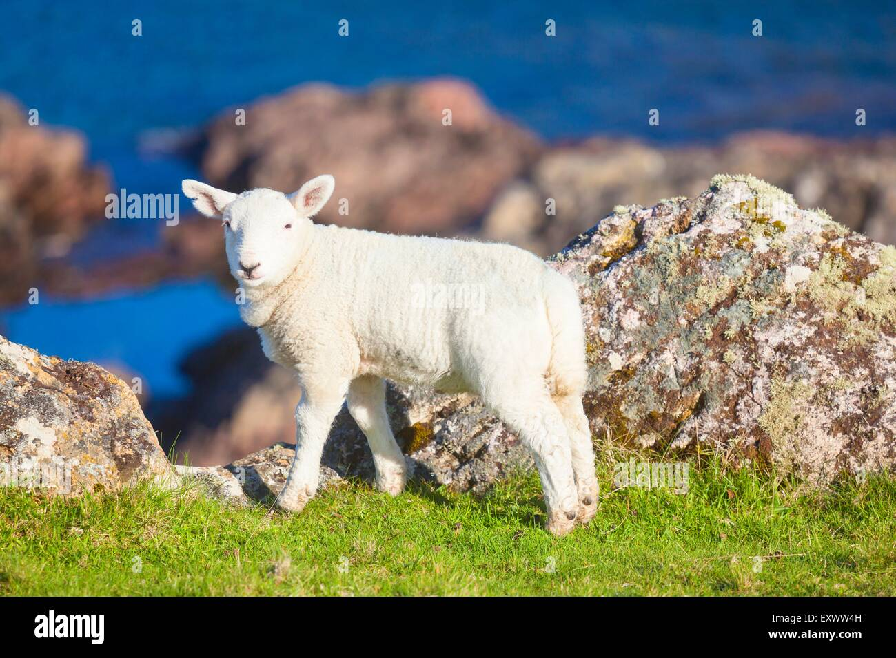 Lamb at the Northwestern coast of Scotland at Kinlochbervie - Stock Image