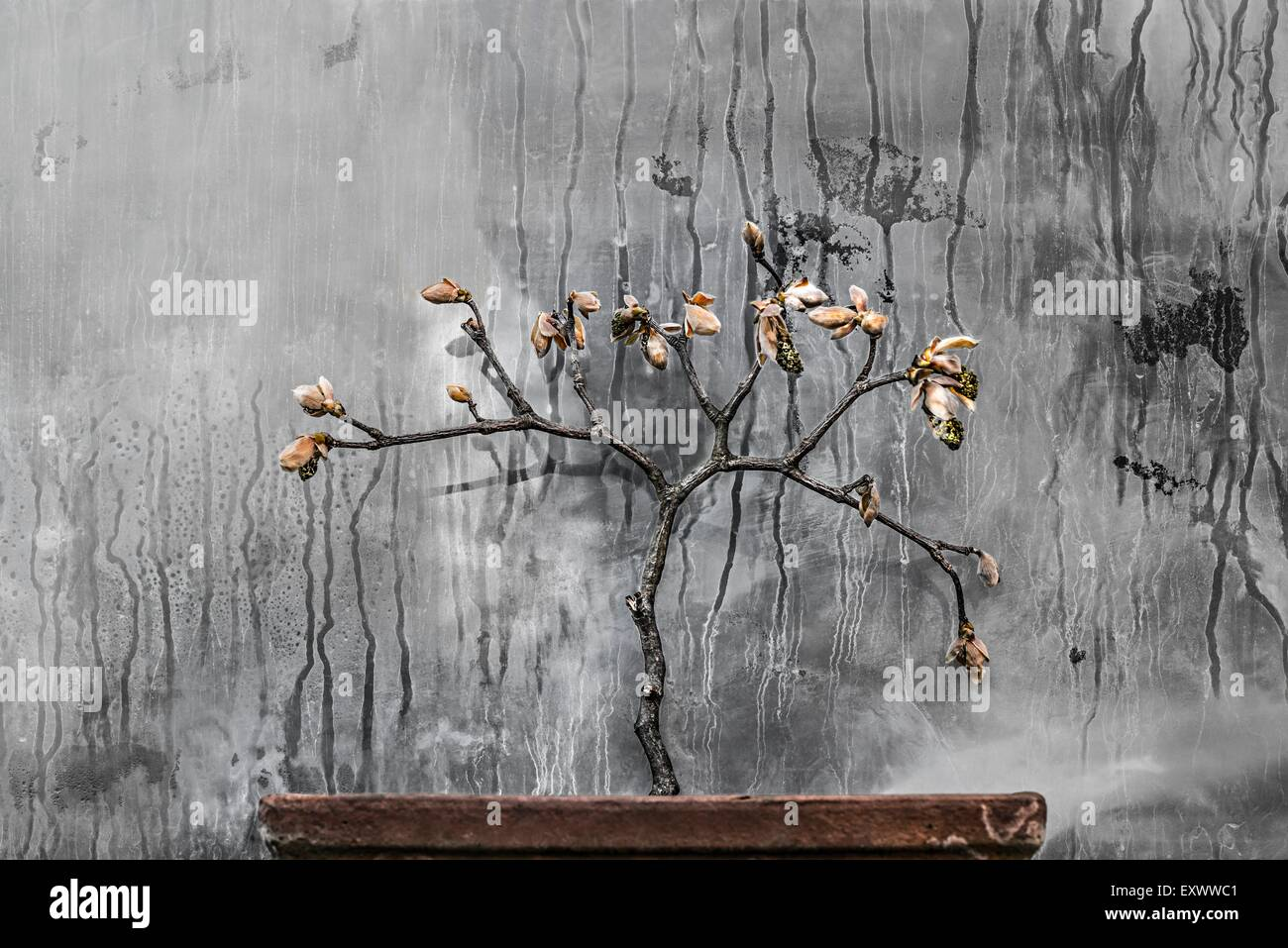 Maple twig at window pane - Stock Image