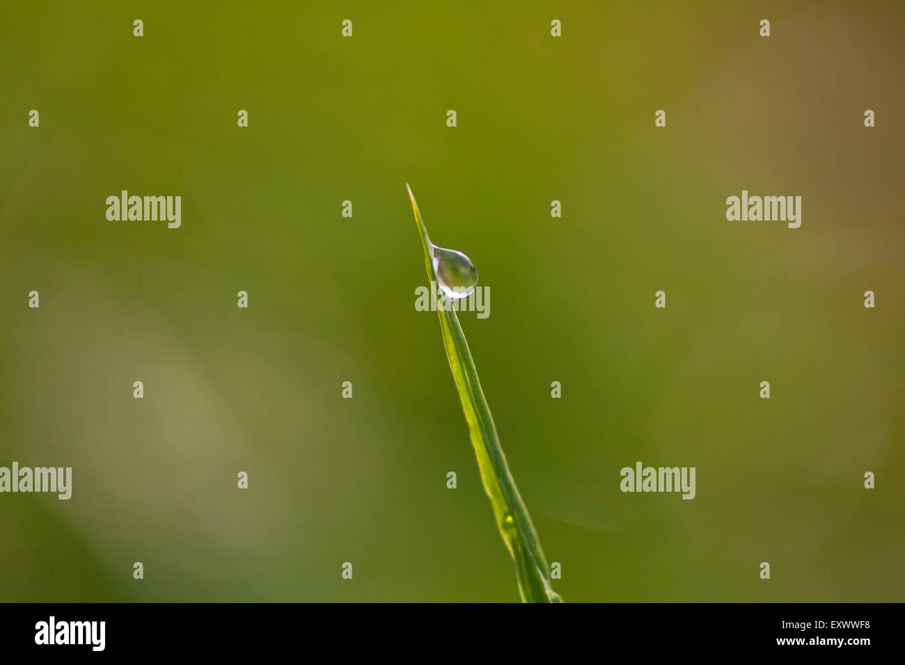 Blade of grass with dew drop - Stock Image