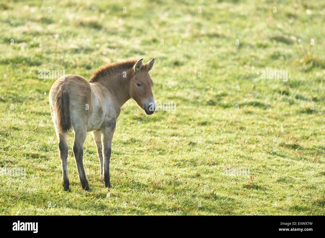 Przewalskis Horse, Equus ferus przewalskii, Bavarian Forest, Bavaria, Germany, Europe - Stock Image