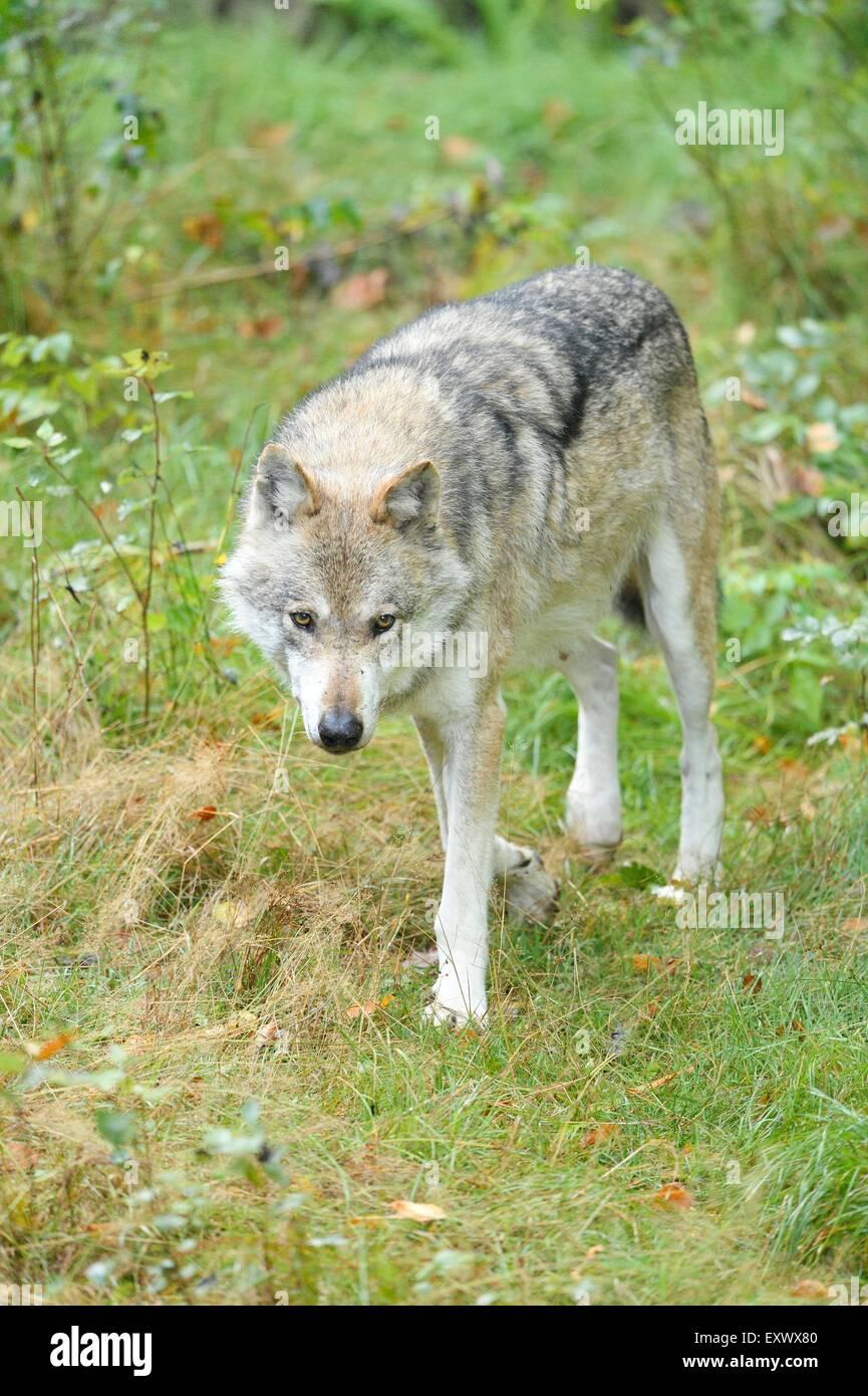 Wolf, Canis lupus, National Park Bavarian Forest, Bavaria, Germany, Europe Stock Photo