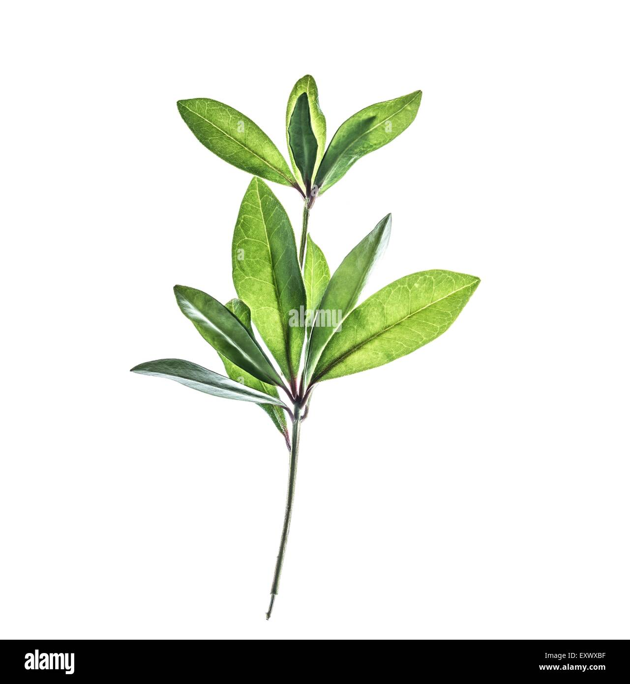 Cherry laurel twig - Stock Image