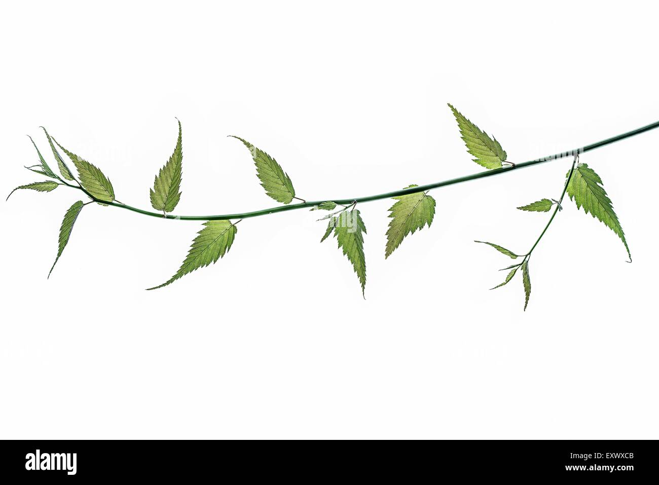 Twig of a ranunculus - Stock Image