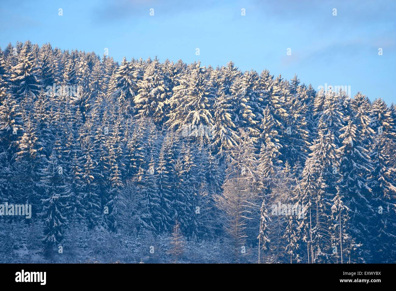 Norway spruces, Picea abies, in winter, Upper Palatinate, Bavaria, Germany, Europe - Stock Image