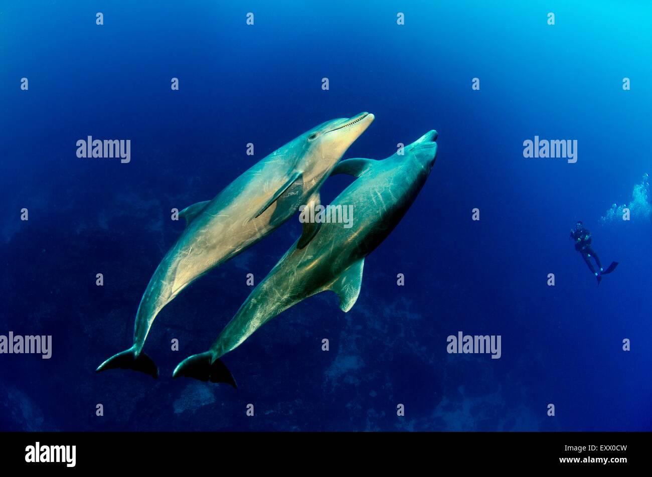Two bottlenose dolphin, Tursiops truncatus, Socorro Islands, Mexico, America - Stock Image